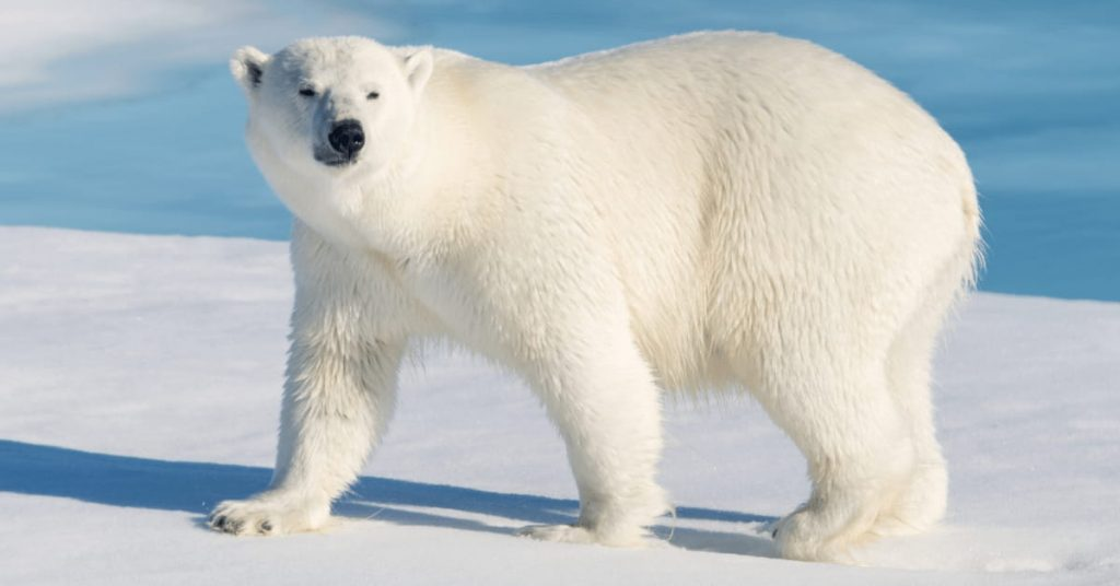 """The white bear problem: """"Try to pose for yourself this task: not to think of a polar bear, and you will see that cursed thing come to mind every minute."""""""